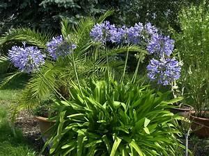 Immergrüne Winterharte Kübelpflanzen : schmucklilie agapanthus hauenstein rafz ~ Michelbontemps.com Haus und Dekorationen