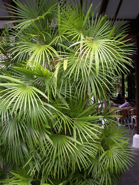 rhapis multifida clustering  multiple seeds palms
