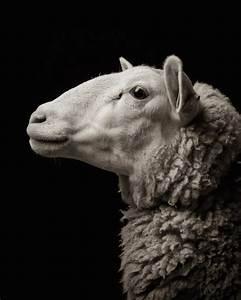 Farm Animals Dramatic Portraits – Fubiz Media