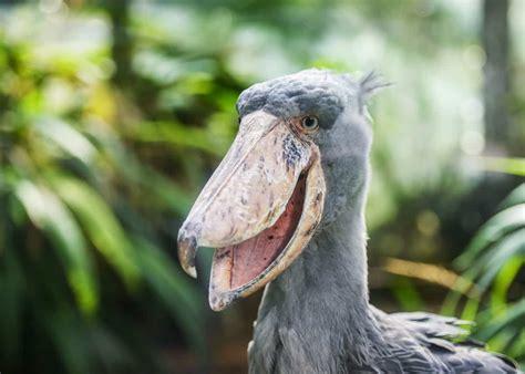 shoebill stork facts balaeniceps rex uganda