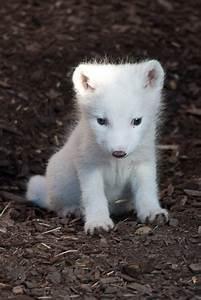 Arctic fox | Cute | Pinterest