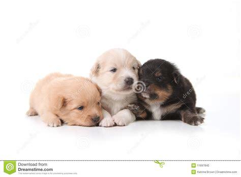 pomeranian newborn puppies  eyes open stock