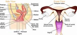 Two Ovaries And Fallopian Tubes In The Female Reproductive