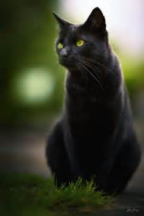 black cats with green black cat with green