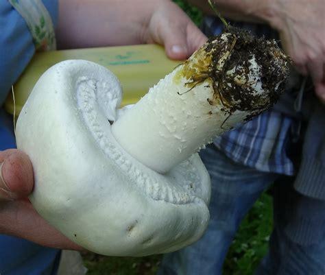 schaf champignon weisser anisegerling ackerblaetterling