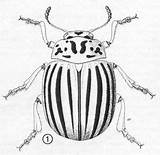 Potato Beetle Colorado Bug Insects Illustration Bugs Insect Leptinotarsa Weird Decemlineata Drawings Beetles Adult Coloring Leaf Anatomy Comparisons Embroidery Say sketch template