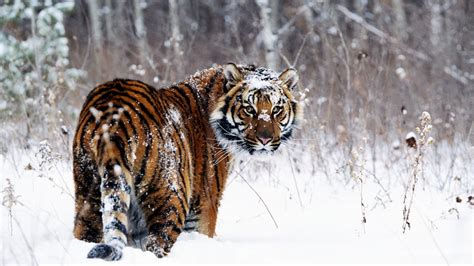 tiger  snow wallpapers hd wallpapers id
