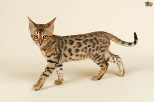 cat breeds the five most expensive cat breeds in the world pets4homes