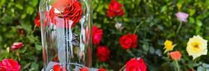 Rose Eternelle Sous Cloche : bouquet de fleurs un large choix de fleurs ~ Farleysfitness.com Idées de Décoration