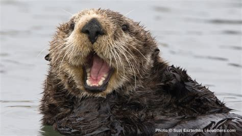 Great White Shark Wallpaper Governor Brown Signs Legislation To Help Sea Otters Seaotters Com Powered By Cuteness