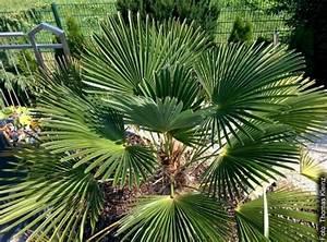 Palmen Für Den Garten : palmen winterhart das exoten zentrum ~ Sanjose-hotels-ca.com Haus und Dekorationen