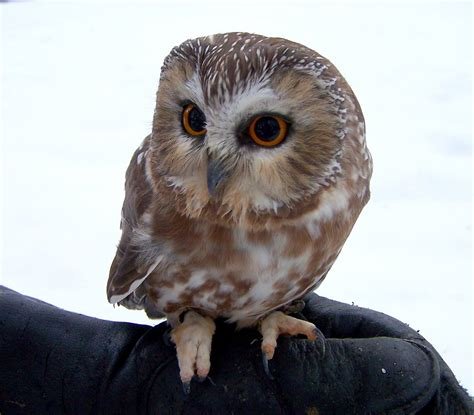 types of owls in colorado western screech owl types of
