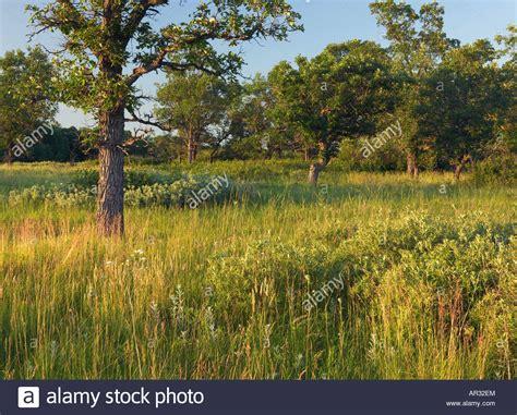 savanna oak bur oak savanna lake bronson state park kittson county minnesota stock photo royalty free