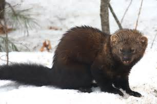 fisher cat images fisher martes pennanti photo tom murray photos at