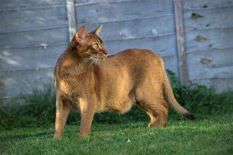 Exotic Breeds Of House Cat