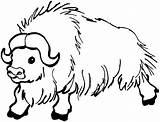 Buffalo Coloring Animals Bison Yak sketch template