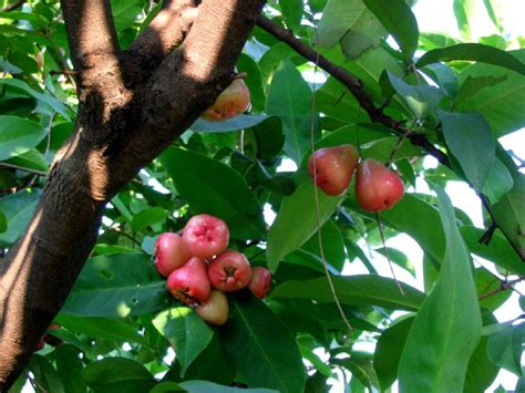 The Legend of Java Apple or Macopa - Syzygium Samarangense ...