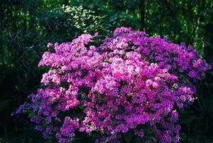 Japanische Pflanzen Winterhart : der rhododendron shop von hobbie aus westerstede ~ Michelbontemps.com Haus und Dekorationen