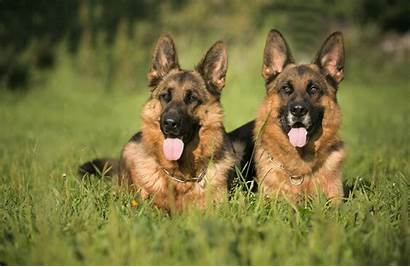 Shepherd German Dog Wallpapers Grass Couple Background