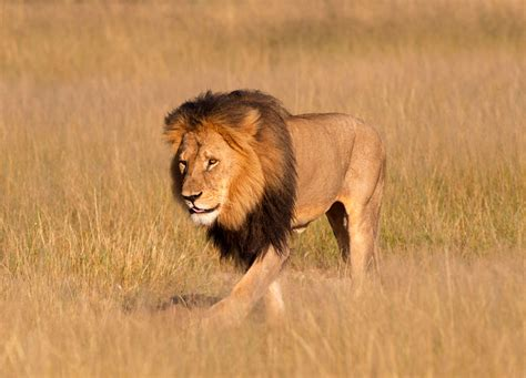 Cecil The Lion's Conservation Legacy Discovermagazinecom