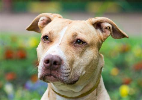 pit bulls dangerous dog bite statistics