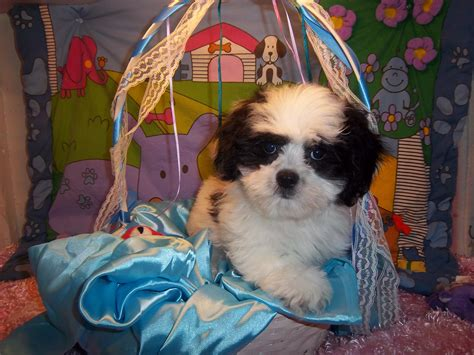 small breed puppies adoption sale south paris maine