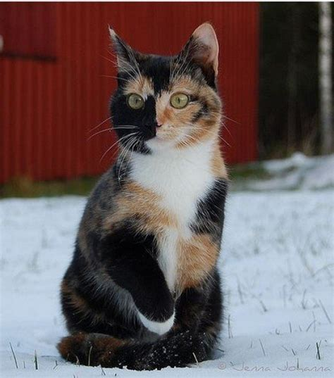 calico cats female why always cat male common dark feral cute kittens orange calicos populations sight they females kitty considered