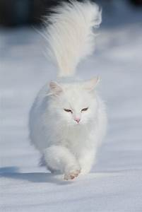 347, Best, Maine, Coon, Cat, Pictures, Images, On, Pinterest