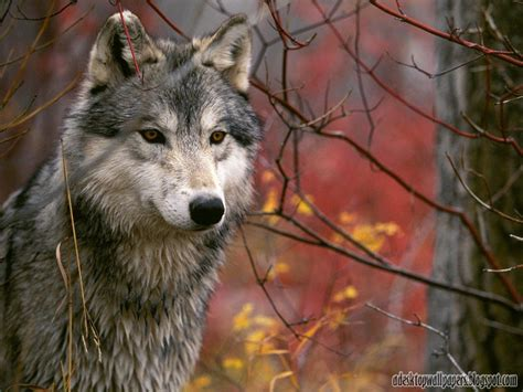 Animals Desktop Wallpaper Free - wolf animal desktop wallpapers