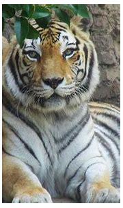 Tiger eyes | Chad Sparkes | Flickr