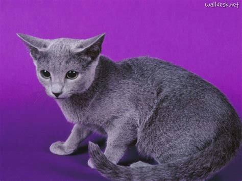 Blue Cats - russian blue information health pictures