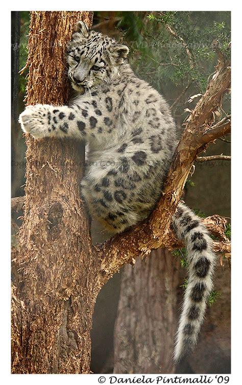baby snow leopard  tree ii  tvd photography  deviantart