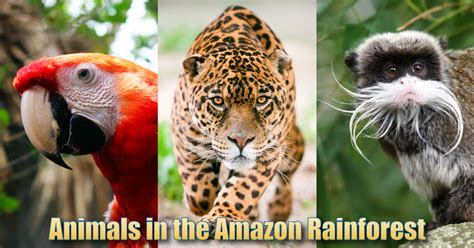 animals   amazon rainforest pictures info facts