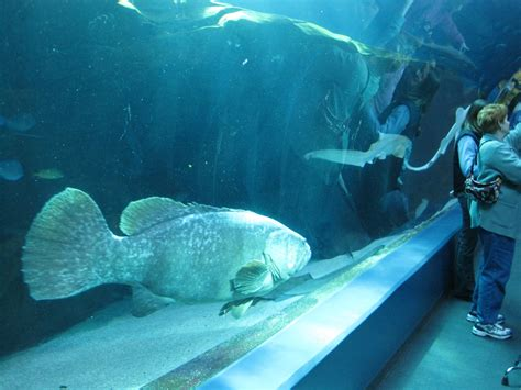 grouper vs giant attack diver january apparently divers known battle money re they