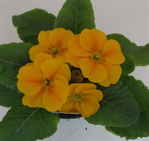 Primrose Danova Orange Yellow