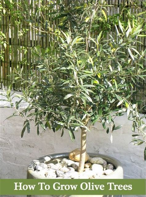 olive trees grow growing fruit tree pots gardens garden container plants olives plant dwarf containers homesteadlifestyle pot backyard gardening indoor