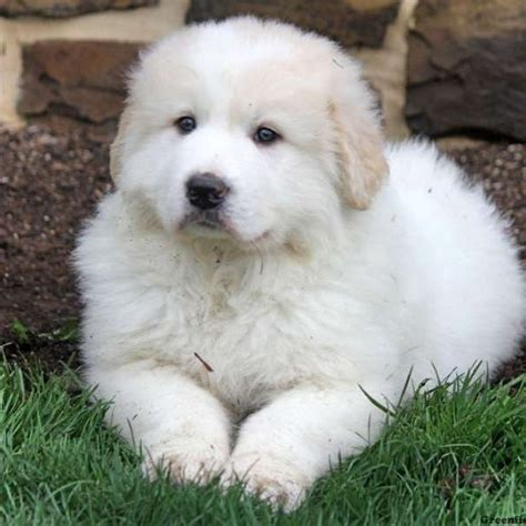 Great Pyrenees Shedding Help by Fin Great Pyrenees Puppy For Sale In Pennsylvania