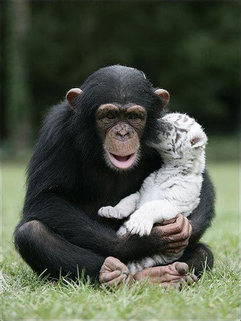 chimpanz 233 et b 233 b 233 s tigres 192 d 233 couvrir