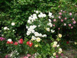 Welche Pflanzen Passen Gut Zu Hortensien : kombinationen mit rosen 7 tipps ~ Heinz-duthel.com Haus und Dekorationen