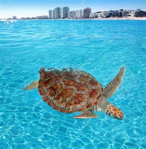 Green Sea Turtle Caribbean Sea Surface Cancun — Stock