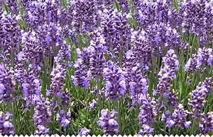 Que Faire Avec Des Fleurs De Lavande : lavande lavandula semer bouturer planter entretenir ~ Dallasstarsshop.com Idées de Décoration