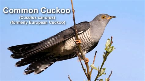 common cuckoo bird call youtube