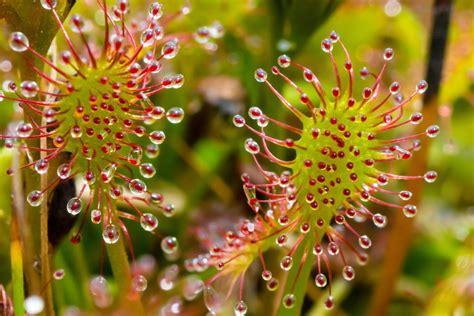 sonnentau pflanze pflege sonnentau pflanzen pflege und 220 berwinterung