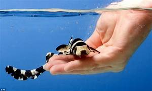The tame baby sharks that DON'T bite the hand that feeds ...