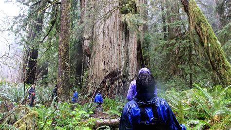 Once Secret Grove Of Gigantic Redwoods 'starting To Look