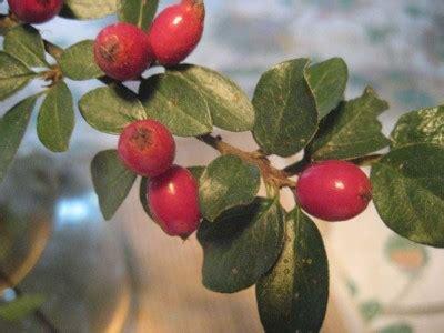 strauch mit roten beeren rote beeren pflanzenbestimmung pflanzensuche green24 hilfe pflege bilder
