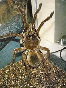 12 best images about Goliath Birdeater on Pinterest ...