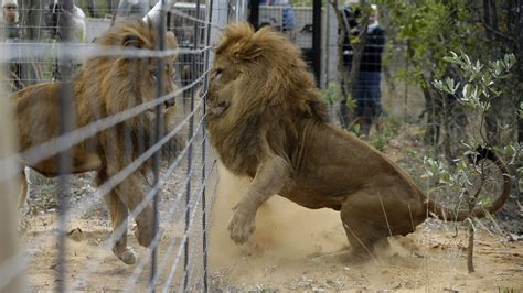 rescued circus lions airlifted  peru