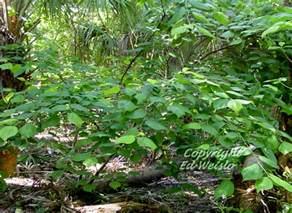 Florida Native Mulberry Tree