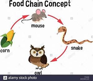 Food Chain Concept Diagram Illustration Stock Vector Art